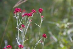Sanguineum de Helichrysum - aka fleurs éternelles rouges, ruminage-mauvaise herbe rouge, fleurs au ressort en retard en Israël photos stock
