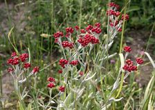 Sanguineum del Helichrysum Fotografia Stock Libera da Diritti