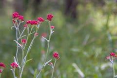 Sanguineum del Helichrysum - aka fiori eterni rossi, bolo di ruminante-erbaccia rossa fotografia stock libera da diritti