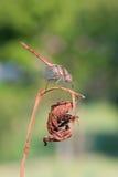 Sanguineum di Sympetrum Fotografie Stock Libere da Diritti