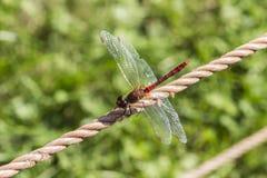 Sanguineum Sympetrum, κατακόκκινη λιβελλούλη darter από τη Γερμανία στοκ φωτογραφίες