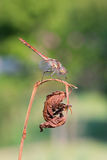 Sanguineum Sympetrum Стоковые Фотографии RF