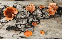 Sanguineus Pycnoporus άγρια περιοχές μανιταριών Στοκ Φωτογραφίες
