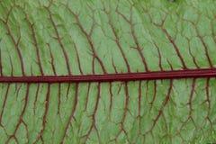 Sanguineus van de de zuringsinstallatie van het bloeddok rode rumex Stock Foto's