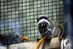 sanguinus обезьяны imperator Стоковые Фото