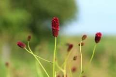 Sanguisorba officinalis Royalty Free Stock Photos