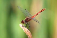 Sangvineum de Sympetrum - libélula Ruddy do Darter Fotografia de Stock