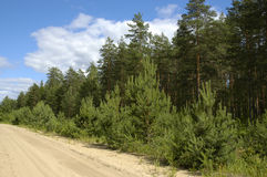 Sangy road in pine forest. In summer day Stock Photo