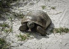 Sanibel海岛地鼠龟 免版税库存图片