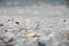 Sanibel Island. Beautiful sea shells on a beach on Sanibel Island off the coast of Fort Myers Florida royalty free stock photos