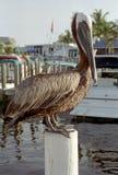 Sanibel Island Pelican Royalty Free Stock Image