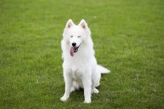 Sanie psy zdjęcie stock