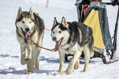 Sanie psy w prędkości ściga się, mech, Szwajcaria Fotografia Royalty Free