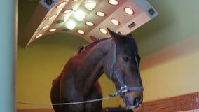 Sanità del cavallo in stalla, nel lavaggio, nella pulizia ed in solarium archivi video