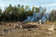 Sanitary logging (deforestation). Balashikha, Moscow region, Russia. Sanitary felling of trees infected by eight-toothed bark beetle (Ips typographus Royalty Free Stock Photo