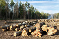 Sanitary logging (deforestation) in Moscow region, Russia. Sanitary felling of trees infected by eight-toothed bark beetle (Ips typographus). City Balashikha Stock Photo