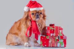 Sankt-Hund - Pekinese Lizenzfreies Stockfoto