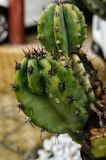 Sanremo, Italië, April 2019: cactus na een regen royalty-vrije stock fotografie