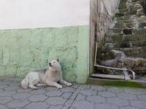 Sans Pedro hund Arkivfoton