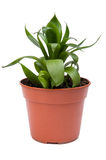 Sansevieria Stock Photography