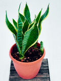 Sansevieria. Agave in a pot Royalty Free Stock Images