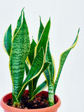 Sansevieria. Agave in a pot Royalty Free Stock Photo