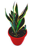 Sansevieria. Agave in a pot Stock Photo