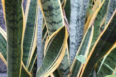 Sansevieria stock images