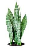 Sansevieria della pianta della Camera Immagini Stock