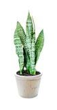 Sansevieria della pianta della Camera su bianco Fotografia Stock