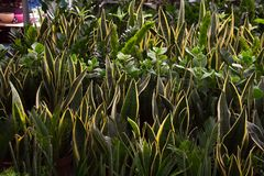 Sansevieria e piante tropicali di zamioculcas fotografie stock
