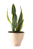 Sansevieria Futura Superba Stock Photos