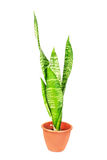 Sansevieria house plant Stock Photos