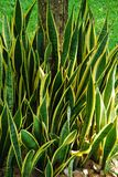 Sansevieria leaf. Sansevieria plant on root of tree ina the garden Royalty Free Stock Images