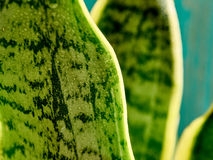 Sansevieria. Leaves, agave macro dew Stock Image