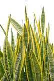 Sansevieria royalty free stock photography