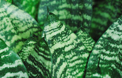 Sansevieria plant Stock Photos