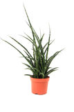 Sansevieria plant. Isolated on the white background Stock Image