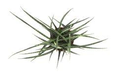 Sansevieria plant Royalty Free Stock Image