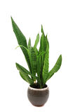 Sansevieria plant isolated Royalty Free Stock Images