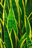 Sansevieria plant. Slose-up of Sansevieria plant Stock Photography