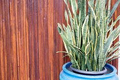 Sansevieria plant. In vase with wooden wall background Stock Photography