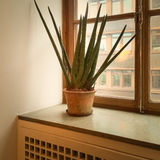 Sansevieria plant on a window sill Stock Photography