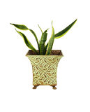 Sansevieria in pot isolated Royalty Free Stock Images