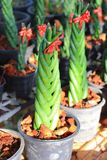 Sansevieria stuckyi. The image of the beautiful sansevieria stuckyi are selling at local market Stock Photography