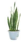 Sansevieria trifasciata. Snake plant or mother in law`s tongue - sansevieria trifasciata Royalty Free Stock Photos