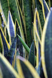 Sansevieria trifasciata Lizenzfreie Stockfotos