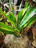 Sansevieria trifasciata, Dracaenaceae, leaves†‹plantae†‹â€ ‹ stockfoto