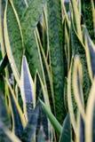 Sansevieria trifasciata Stock Photography