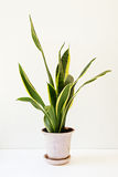 Sansevieria trifasciata, or the Mother-in-Law`s Tongue in an old. Flowerpot on a white table Royalty Free Stock Photos